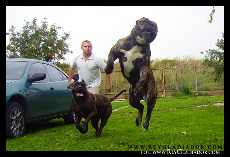 1000+ images about PRE... Xxl American Bully Puppies