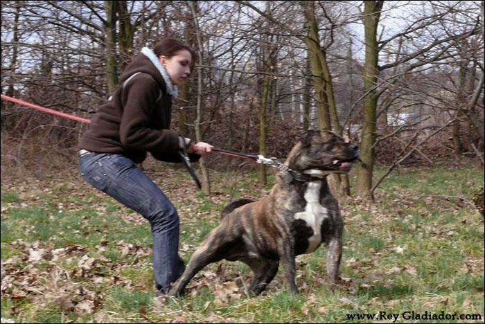 Pitbull Mix Rottweiler
